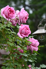 庭のバラ9
