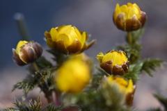 春の息吹  福寿草