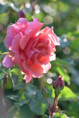 庭のバラ5