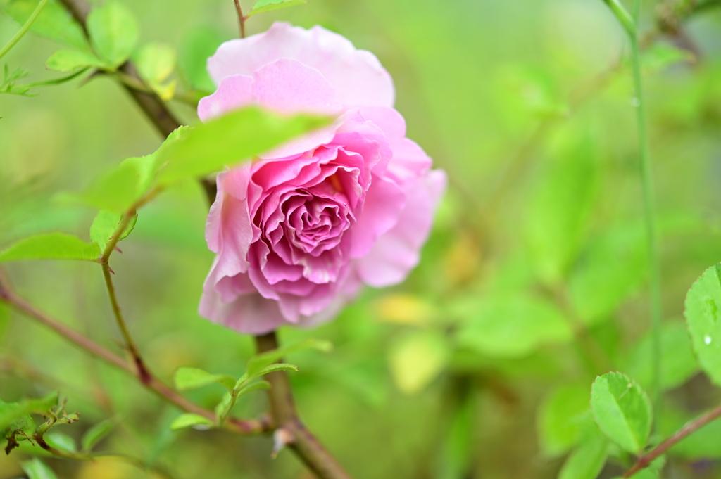 実生バラの開花