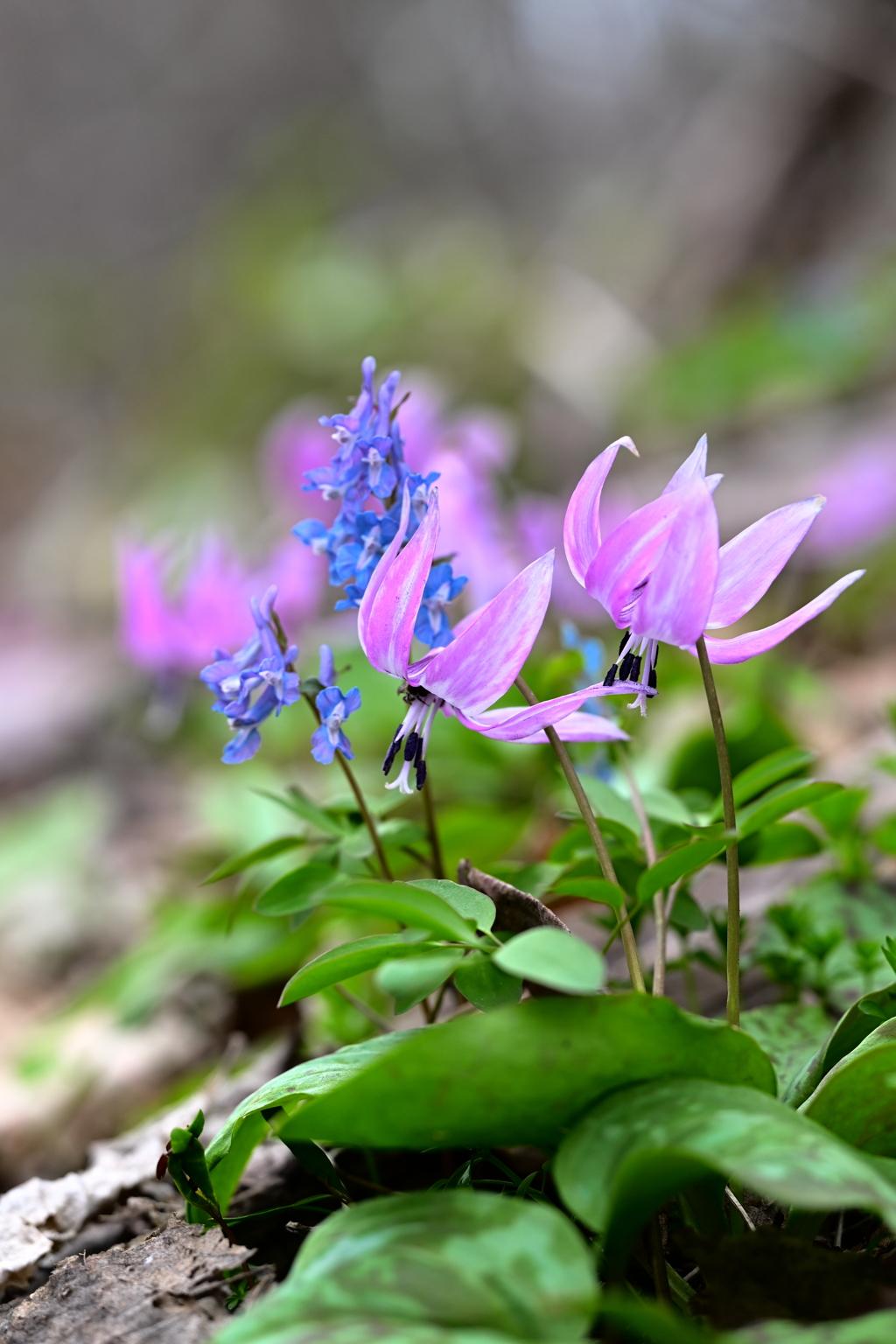 春を告げる山の妖精