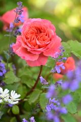 庭のバラ2