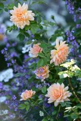 庭のバラ6