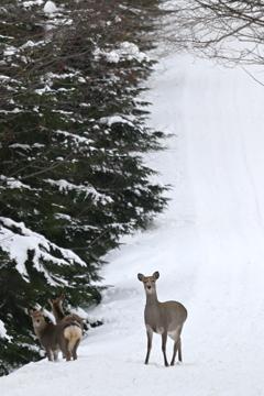 エゾ鹿の警戒心