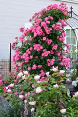 庭のバラ11