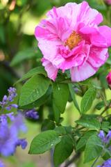 庭のバラ3