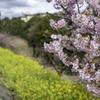 河津桜と菜の花②