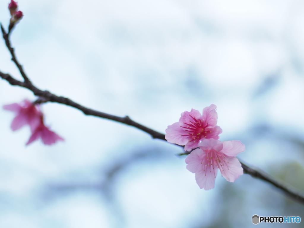 春の訪れ桜が咲き始めました2
