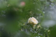 孤独な白薔薇