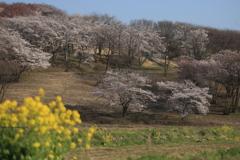 田舎の桜の咲く丘