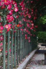 薔薇の歓迎