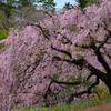 白鳥庭園の桜04