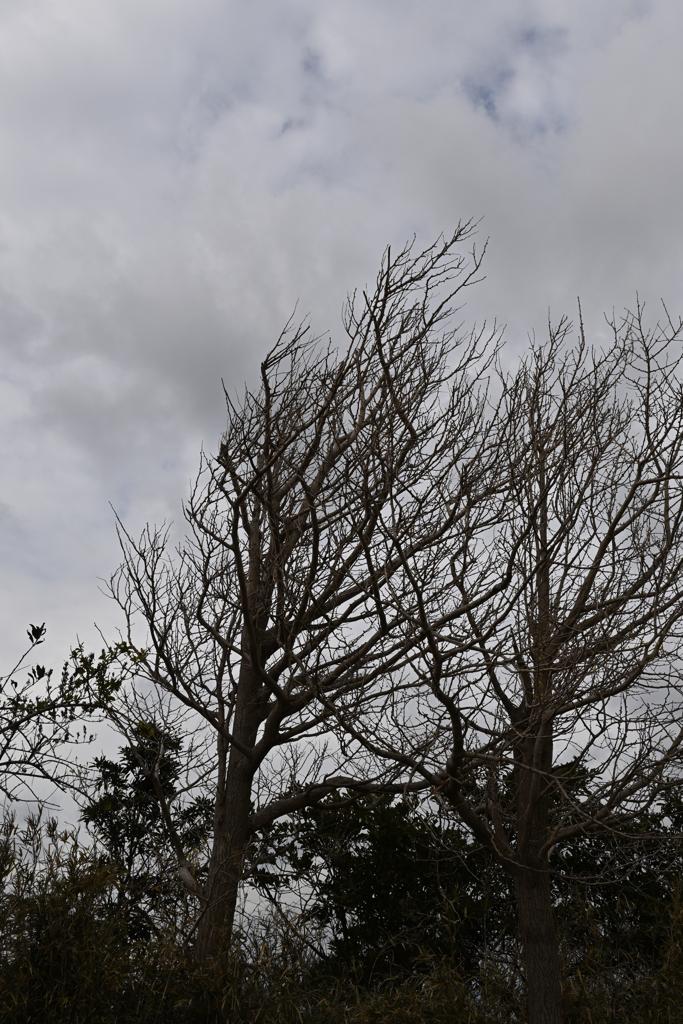 海風に耐えた立木