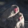 日向ぼっこのお猿