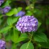 朝の散歩 ご近所の紫陽花