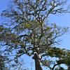 五霊神社の大木