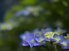 紫陽花 Hydrangea ハイドランジア