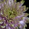 chrysanthemum Ⅱ
