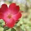 秋薔薇のハート