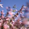 青空とピンクのサルビア