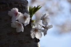 見せられなかった桜