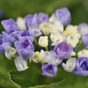 ブーケのような紫陽花を・・