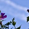 木槿と飛行機雲
