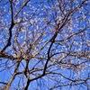 12月の青空と白い実