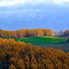 秋のカラマツ