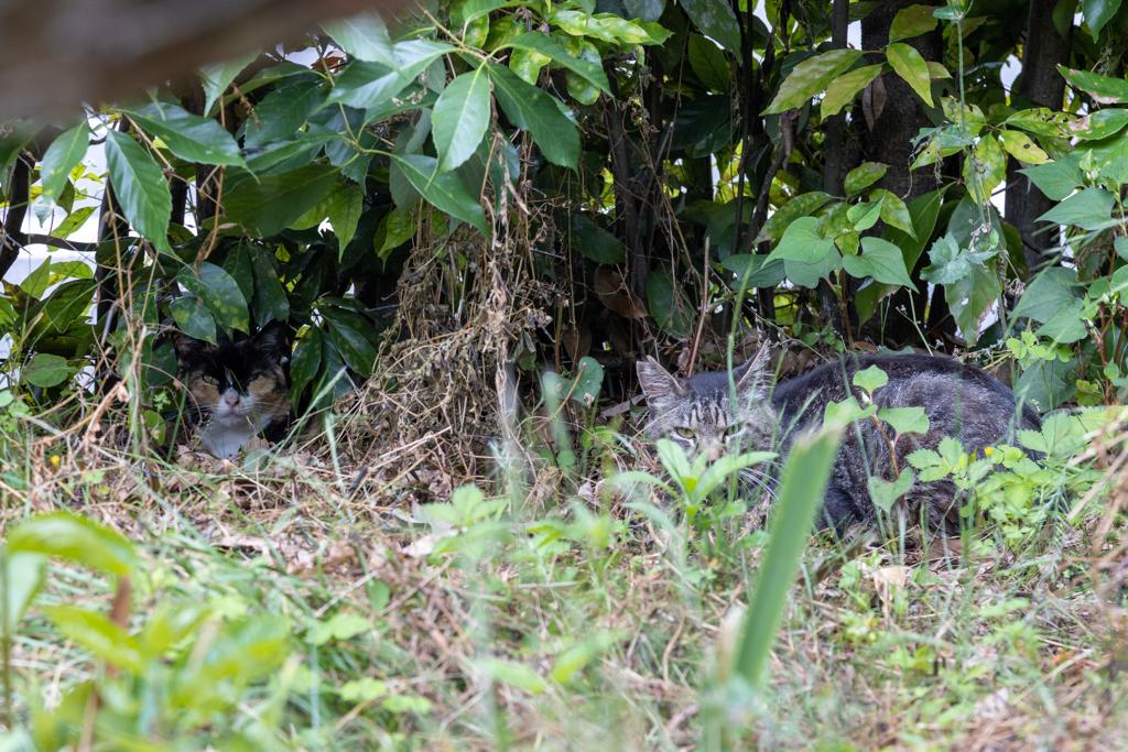 茂みに隠れて生きる♪ オレたちゃ地域猫なのさ~♪