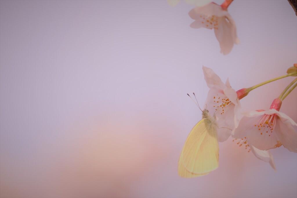 黄色い花びら