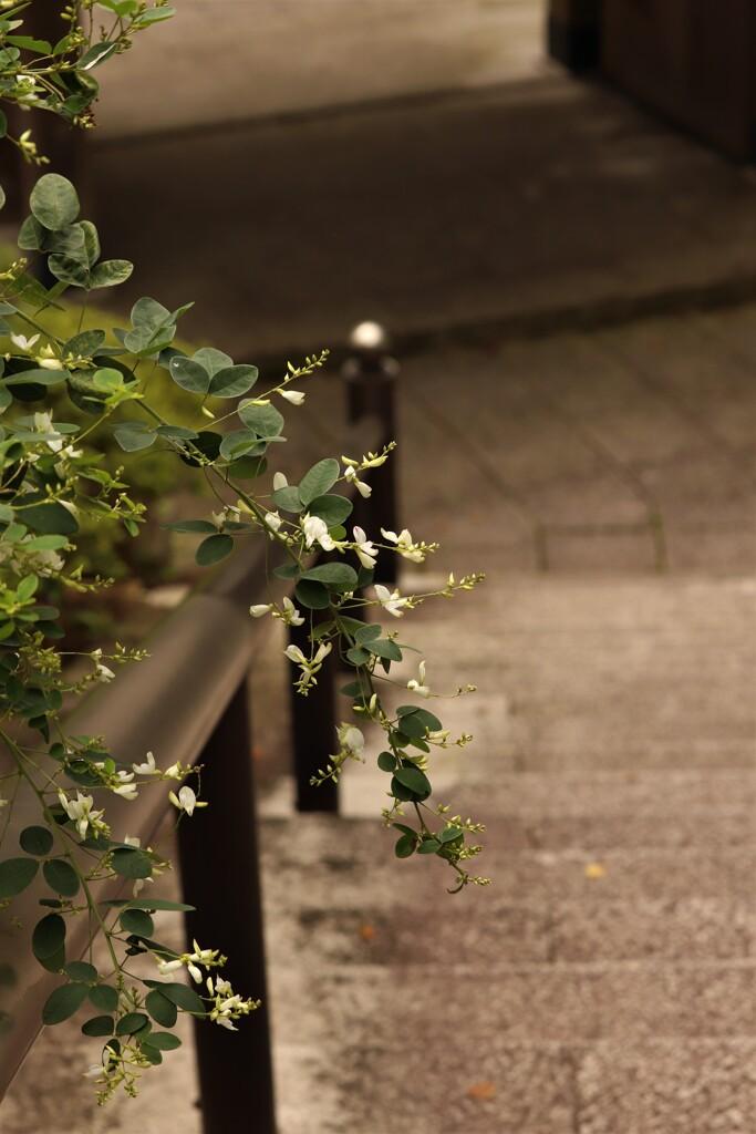 白萩の階段