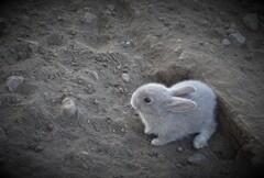 富良野のウサギ