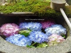 手水鉢 涼を貰ひて 紫陽花と
