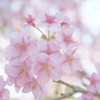 fluffy cherry blossoms