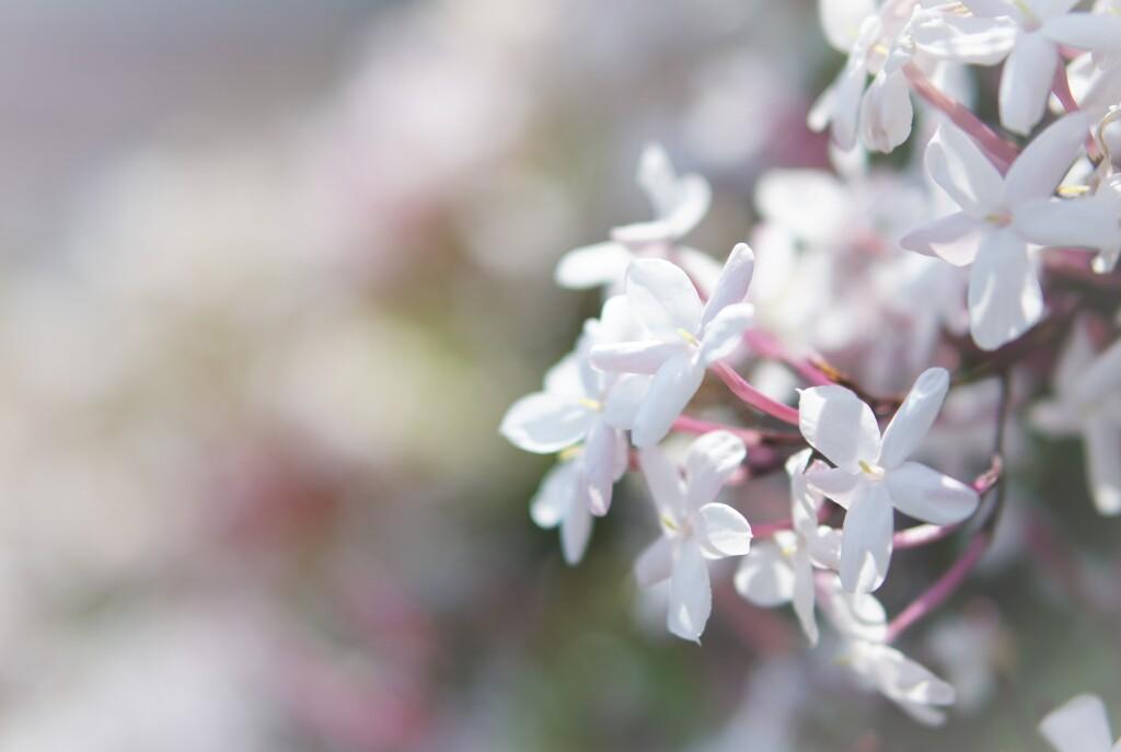 jasmine of may