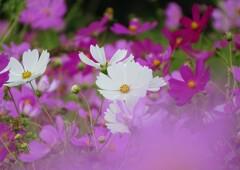 里山の秋桜