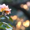 森の夕陽とバラ