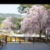 洛北の山並みと桜