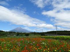 富士山と秋桜畑