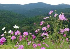 山々と秋桜
