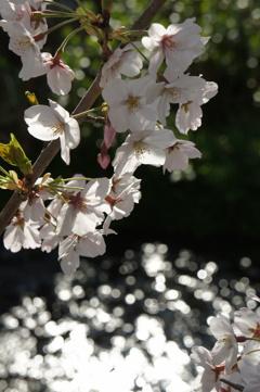 淡き桜と清流