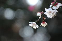 枝の先端に咲く白梅