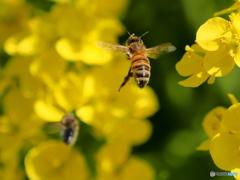 ハチの編隊飛行訓練中