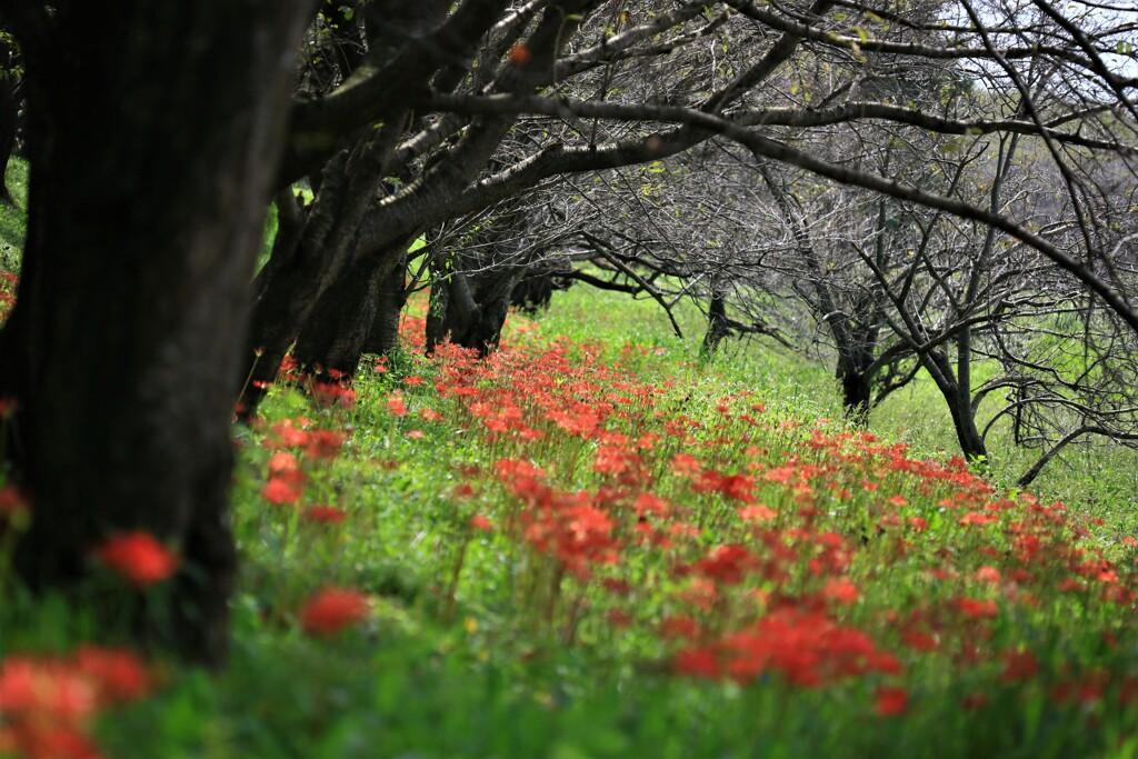 広がる赤の絨毯