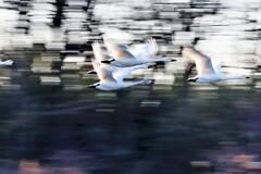 白鳥の流し撮り2
