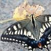 道に降りるアゲハ蝶