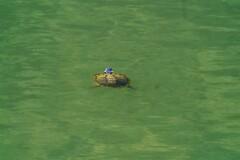 亀の平泳ぎ??