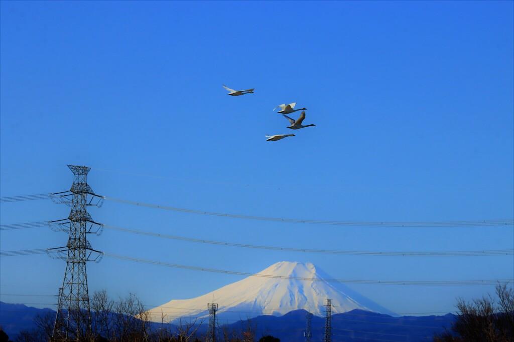 富士山と白鳥4
