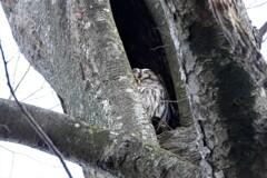 昼寝のフクロウ